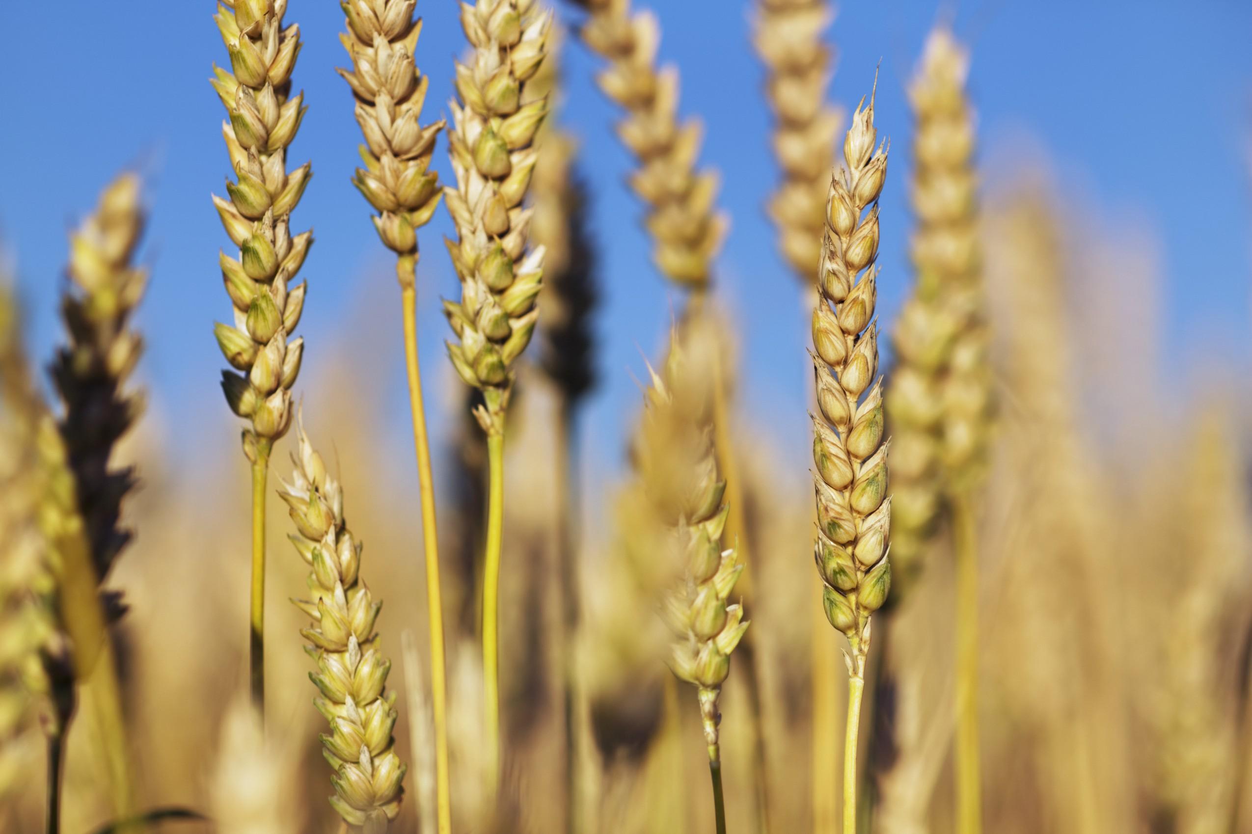 Sensibilità al glutine: al via uno studio di massa