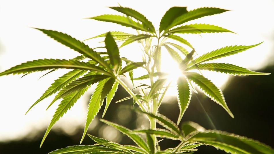 La cannabis combatte la celiachia?