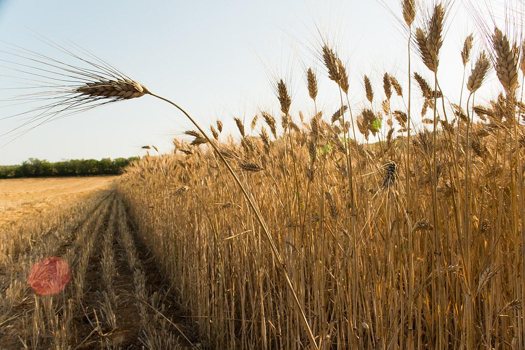 Il grano diventerà un alleato?