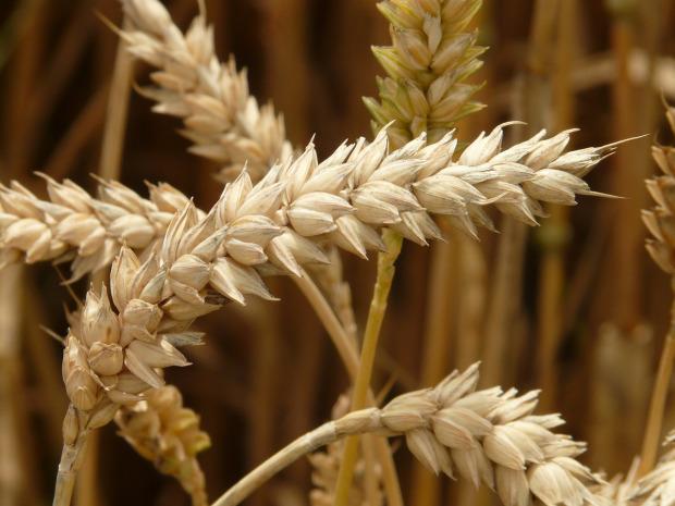 Endopeptidasi, gli enzimi che digeriscono il glutine