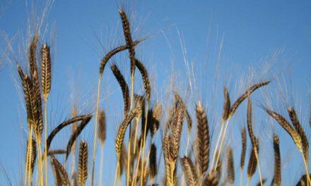 Celiachia: ha più di 10mila anni il grano che la aiuta a prevenire. Si chiama anche piccolo farro