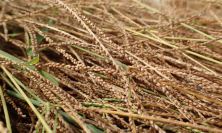 Fonio, l'antico cereale africano naturalmente bio