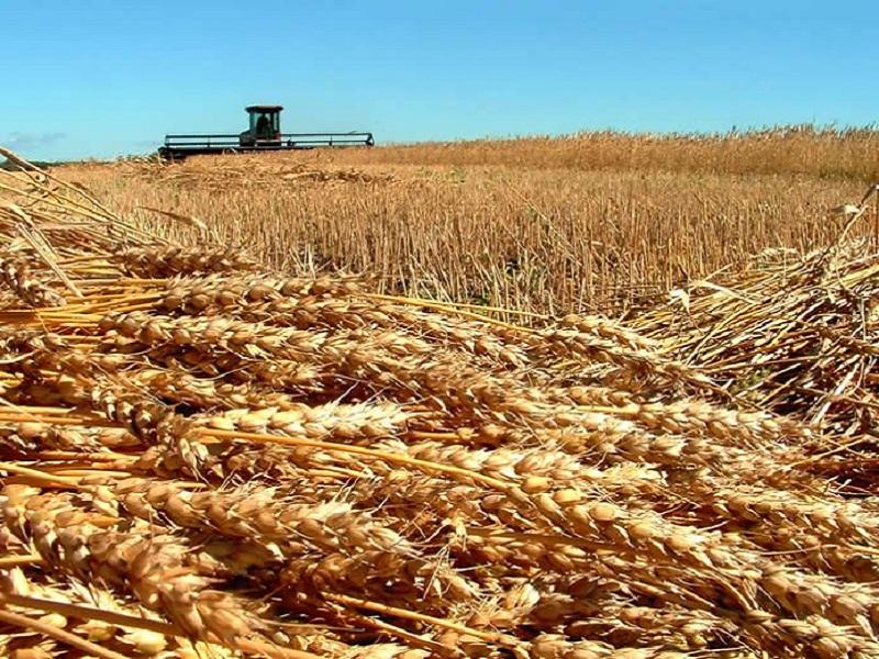 Allergia al grano, la desensibilizzazione orale alle proteine del frumento potrebbe essere di aiuto secondo uno studio statunitense