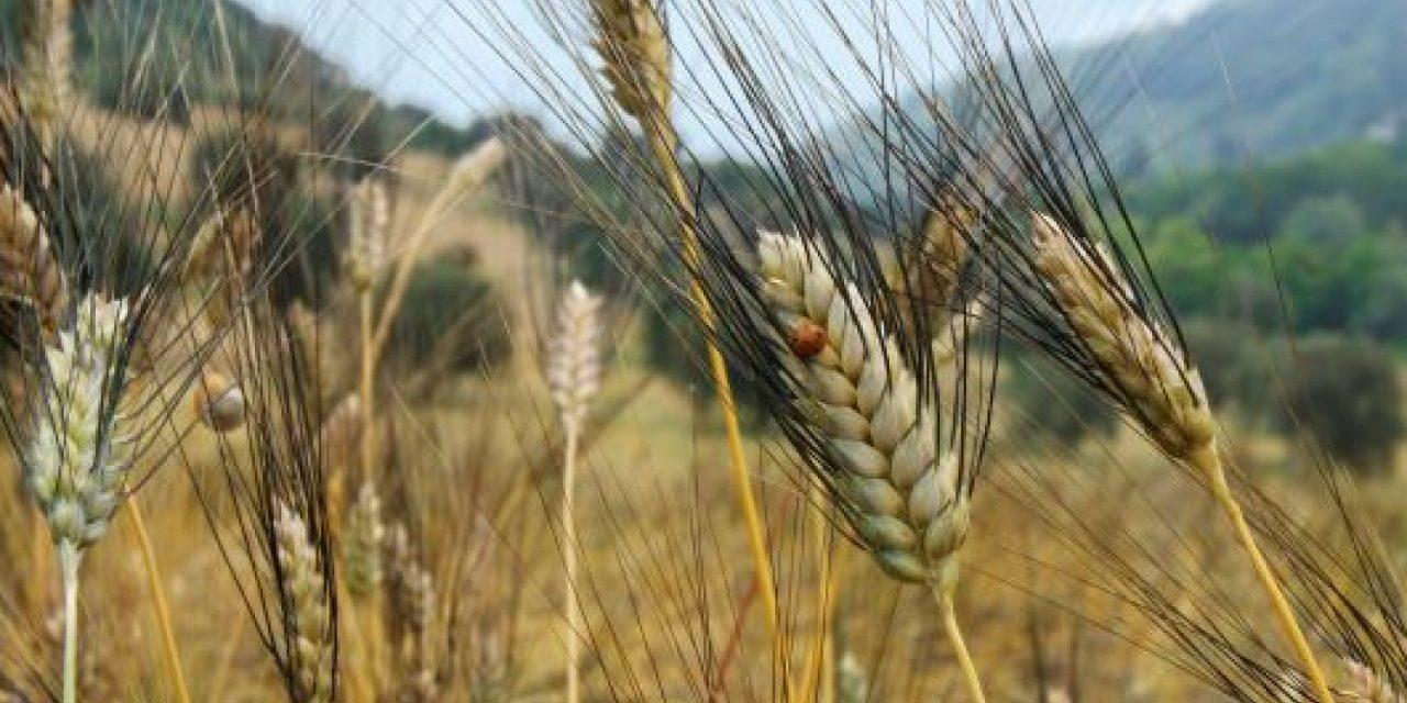La pasta con il grano Senatore Cappelli è più tollerata dalle persone sensibili al glutine